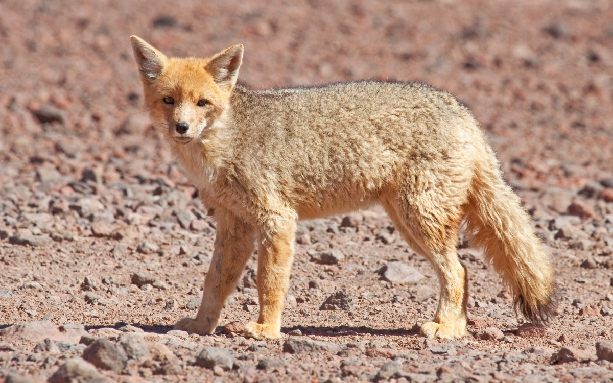 Andean fox, also known as Culpeo is a predator that likes to attack different species. Sometimes it attacks sheep and is therefore often hunted or poisoned by the locals.