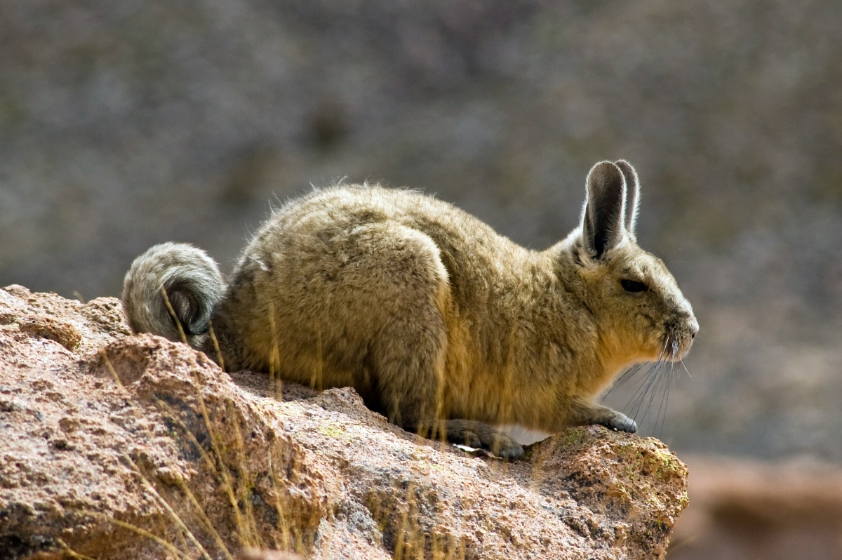 Bolivian Vizcacha - Rabbit-like rodent native to South America