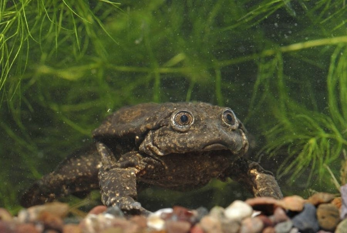 Titicaca Water Frog, binomial name Telmatobius culeus, is a huge and critically endangered species of frog. It can grow to 50 cm (20 in) in length and 1 kg (2.2 lb) in weight.