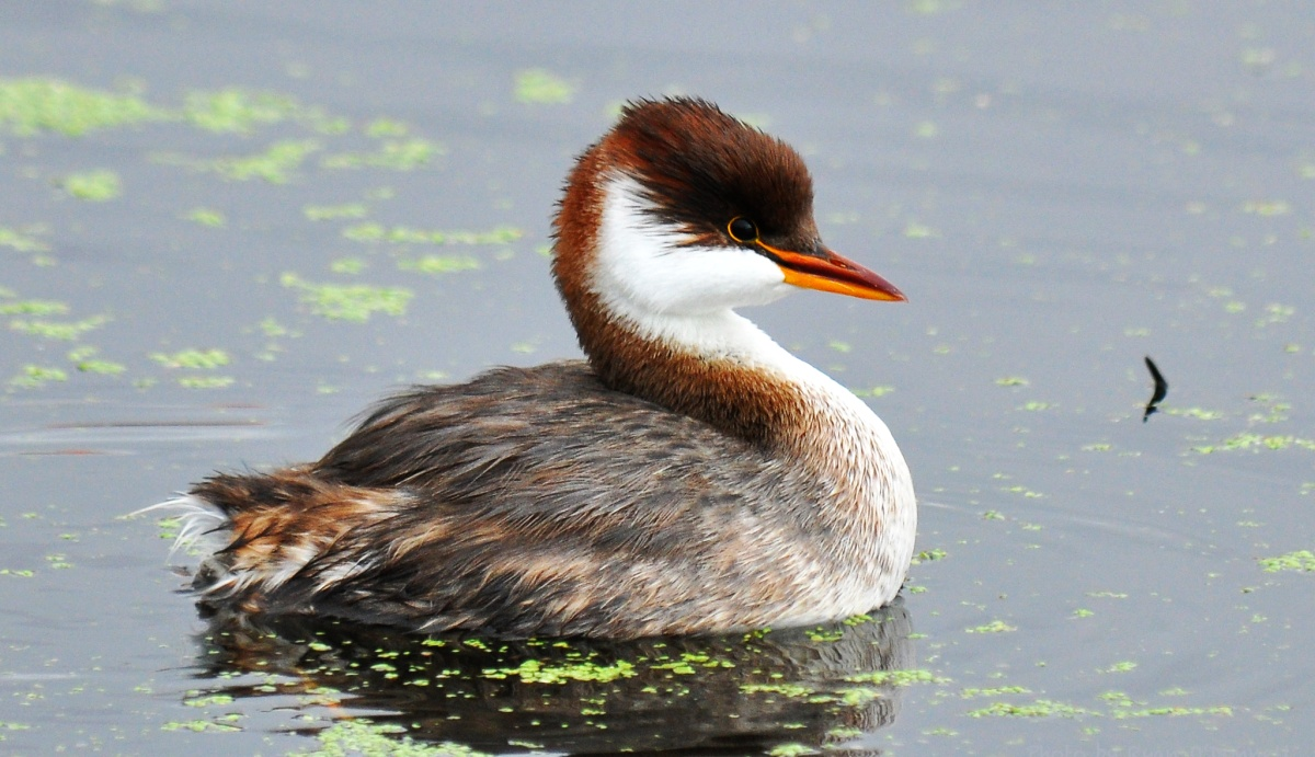 Titicaca grebe - Its main population occurs on Lake Titicaca, around Lake Uru Uru and Poopó, the Rio Desaguadero. This grebe is It is classified by the IUCN as Endangered.