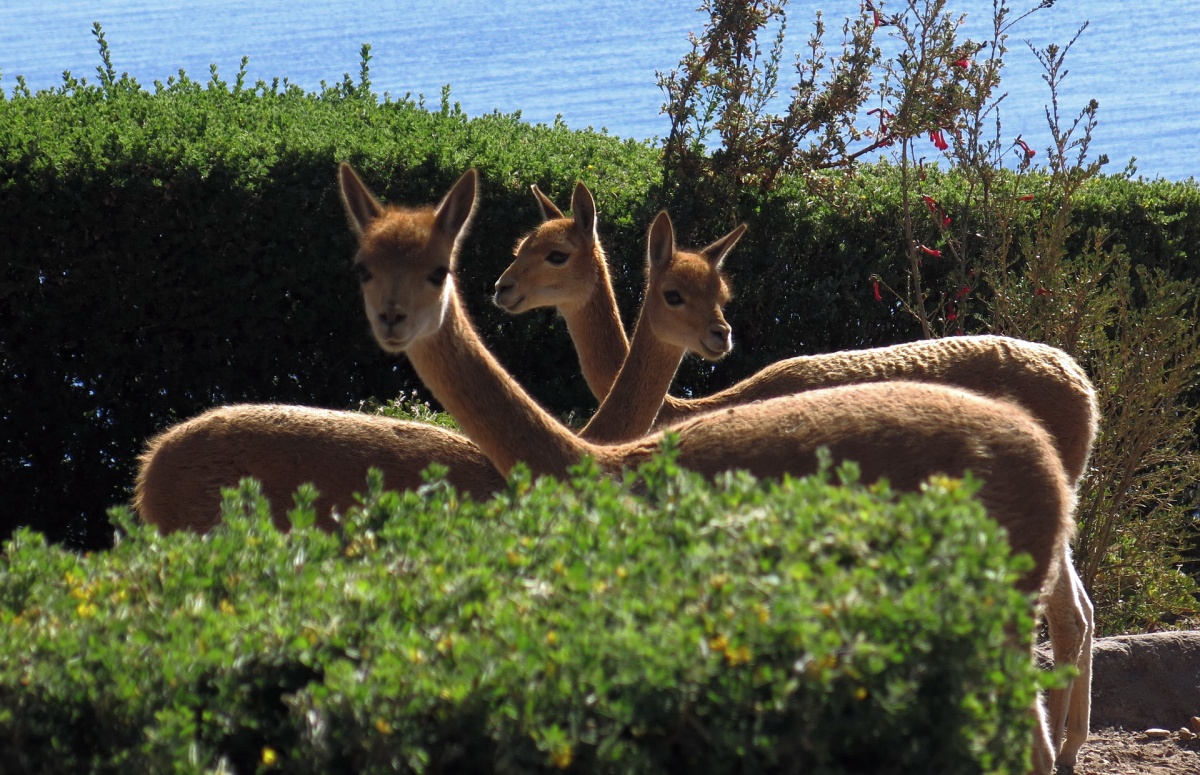 Vicuña camelids on the Island of Suasi