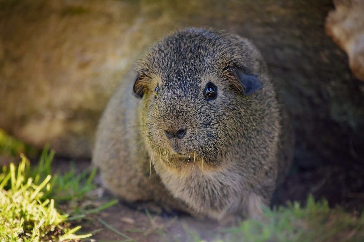 Wild guinea pig - this widespread rodent, as the locals call it cuyes, is unfortunately a local delicacy.